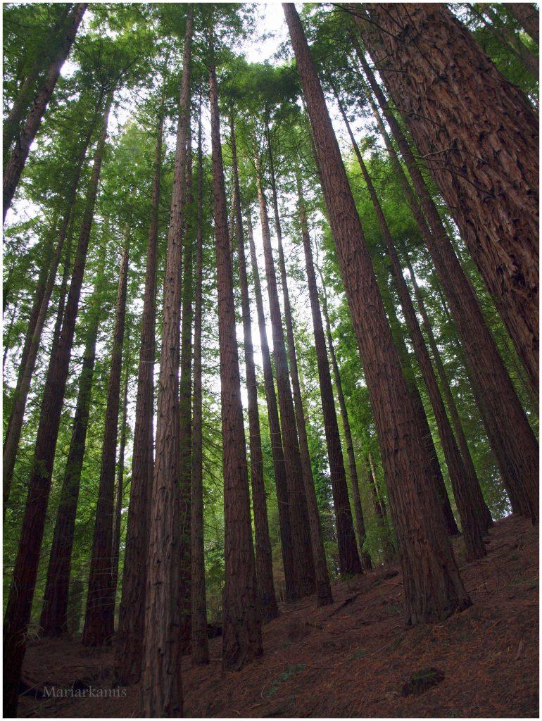 bosque-secuoyas-265-770x1024 Un Bosque de Secuoyas en Cantabria!. Rutas