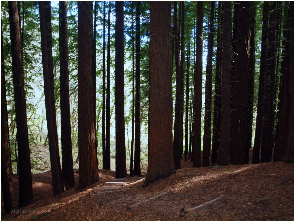 bosque-secuoyas-272-1024x770 Un Bosque de Secuoyas en Cantabria!. Rutas